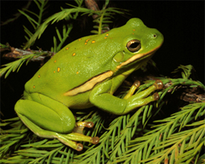 Green-tree-frog-2-copy