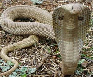 indian-snake