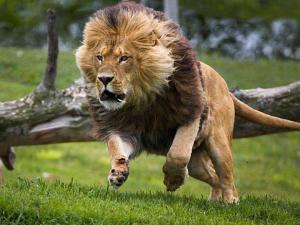 LionAttack