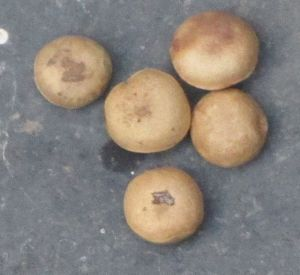 Strychnos_potatorum_5