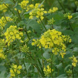 white-yellow-mustard-