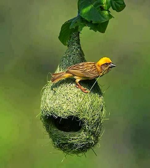 kuruvi weaver bird