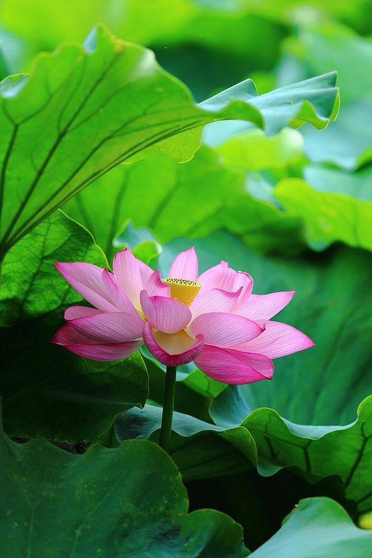 lotus thamarai