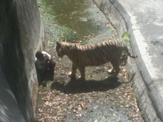 tiger_kills_student_