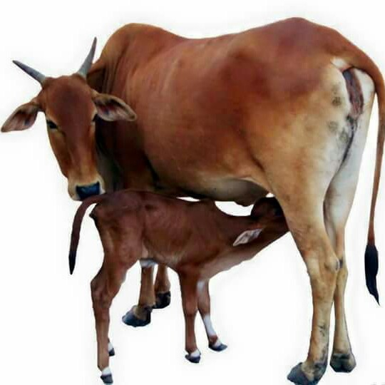 cow and calf face book