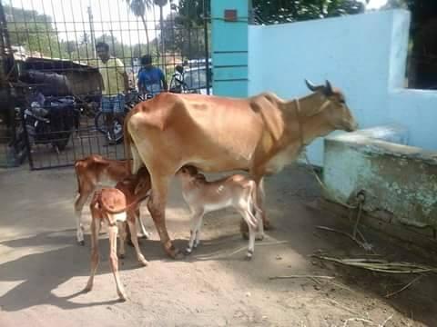 cows and calves kandrus
