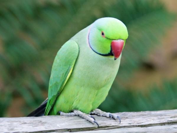 330591-green-parrot