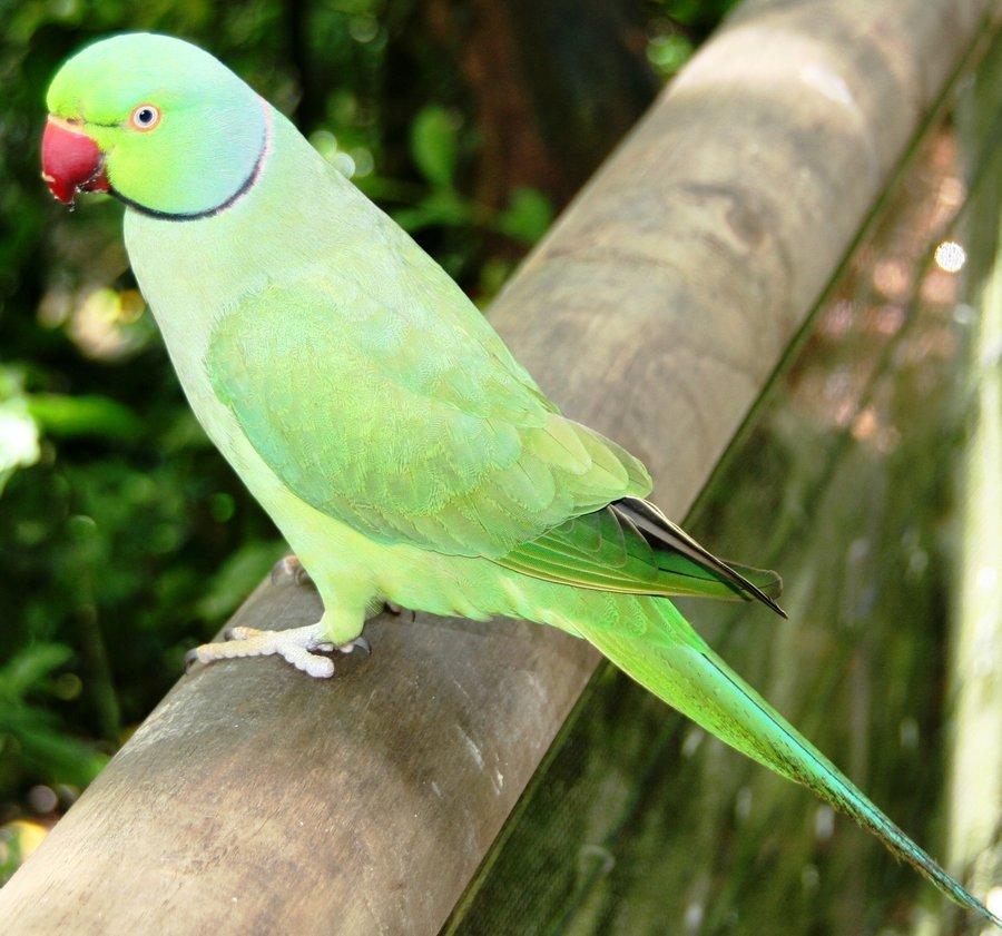 alexandrine_parrot_f