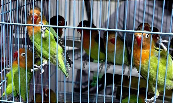 caged-parrots2