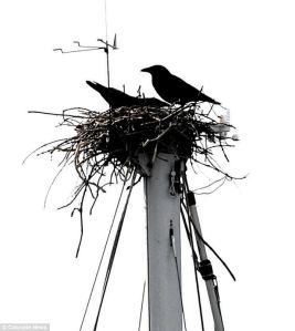 crow nest2