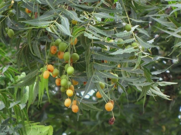 Neem-Tree (1)