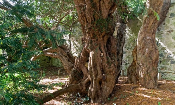 5000 year old yew tree