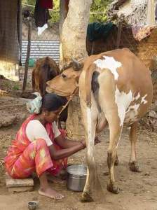 milking by iron raju,fb