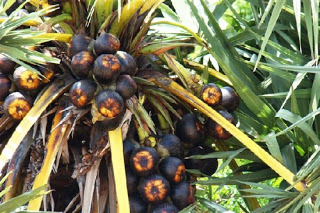palmyra-palm-fruit