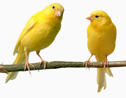 yellow-canaries