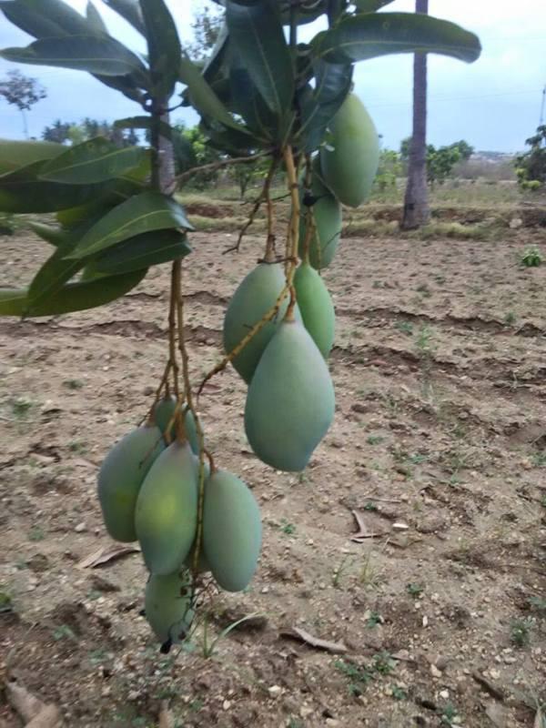 mango thongum