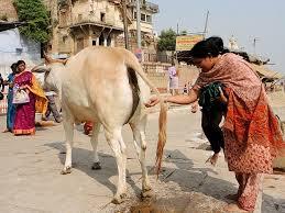 urine of cow