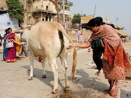 urine of cow