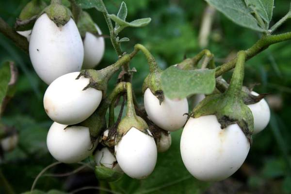 brinjal white