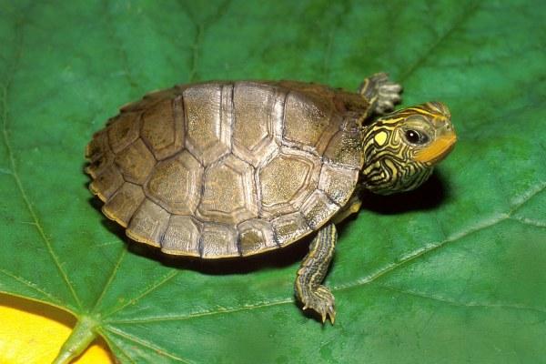 Common Map Turtle.jpg