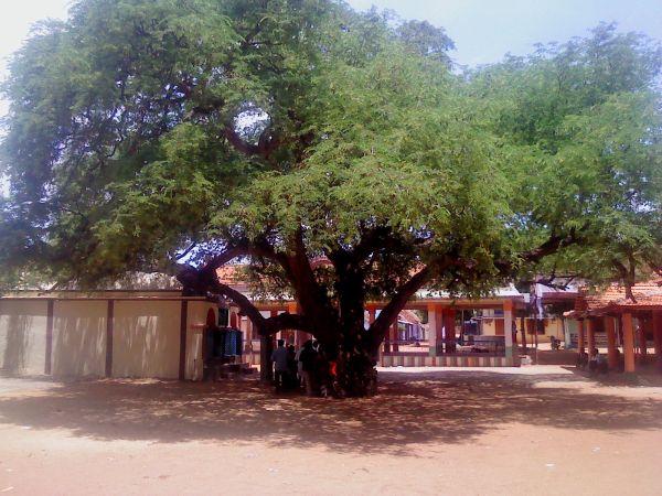 குட்ம், ஆனந்தவல்லி கோவில், புளி