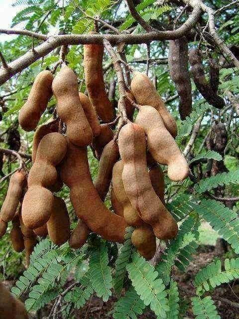 tamarind tree  tamil and vedas, Beautiful flower