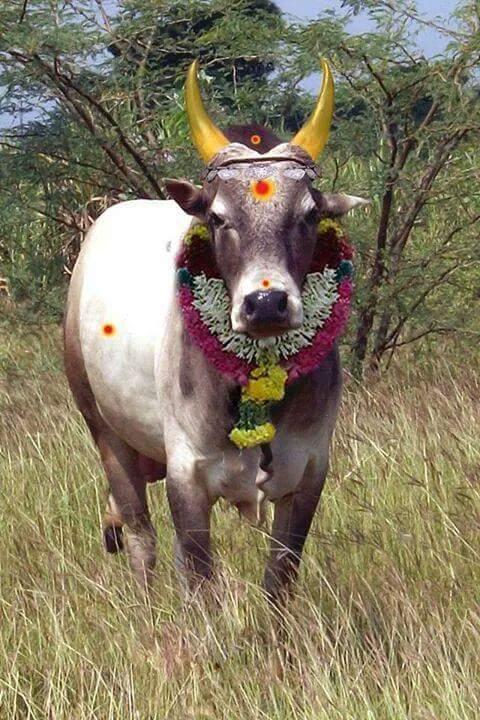 beauty bull
