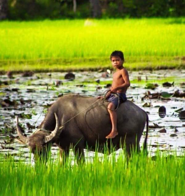 buffalo boy, cambodia
