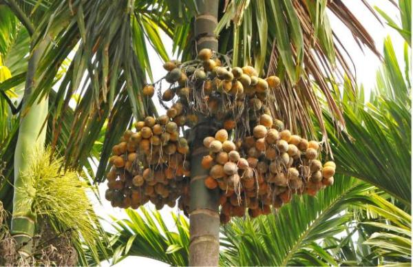 Arecanut-Cultivation