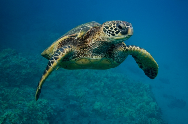 Green Sea Turtle. Chelonia mydas. Maui, Hawaii, USA.