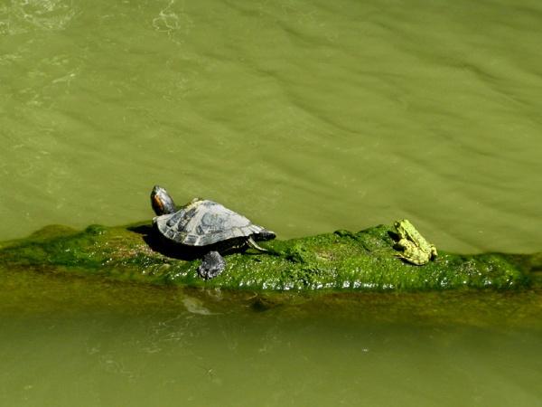 turtle frog, croc