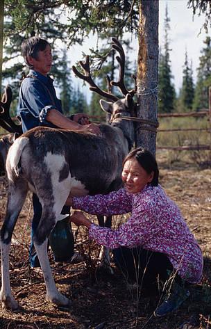 reindeer milking