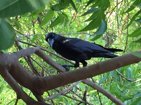 crow kaka