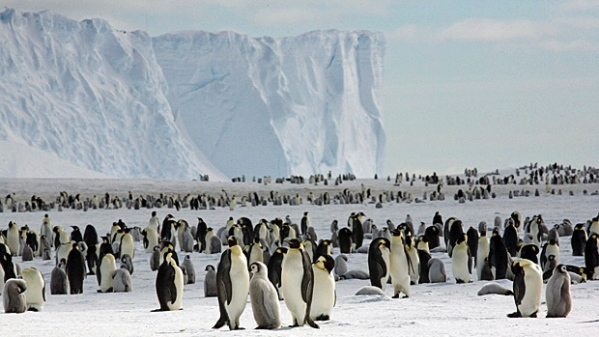 hi-620-emperor-penguins-on-the-sea-ice-close-to-halley-research-station-credit-british-antarctic-survey