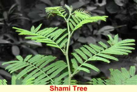 1381580945_shami_tree