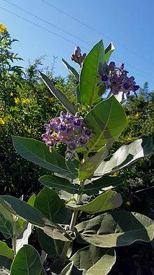 calotropis_gigantea_plant-ogv
