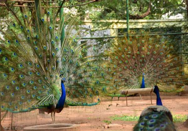 cbe-peacocks-mayil
