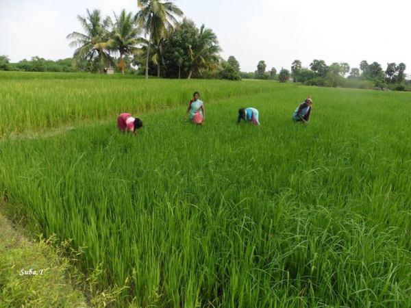 field-in-dalavanur-suba