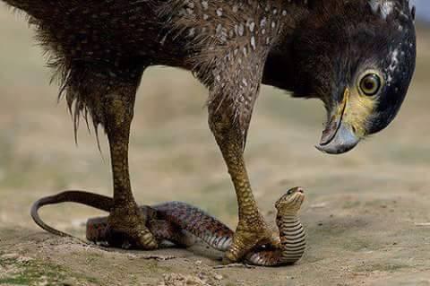 garuda-snake