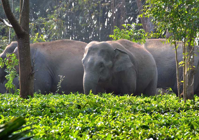 a1bdd-assam2belephants2bin2btea2bestae